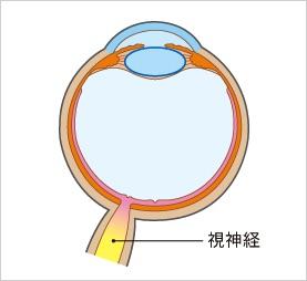 視神経(※参天製薬のご厚意による)